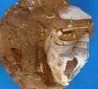 Aporrhais (Drepanocheilus) speciosus