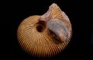 Macrocephalites sp. mit aufliegender Plagiostoma sp.