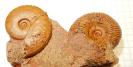 Pseudocadoceras grenringki und Oxycerites sp.