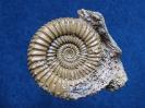 Caumontisphinctes bifurcus