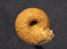 Chondroceras wrightii