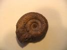 Phaulostephanus bicos. (?)