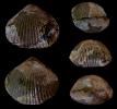 Brachiopode Acanthothiris spinosa (LINNÈ 1767)