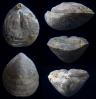Brachiopode Aulacothyris meriani (OPPEL 1858)