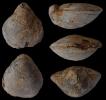 Brachiopode Gigantothyris gigantea SEIFERT 1963
