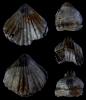 Brachiopode Rhynchonelloidella alemanica (ROLLIER 1911)