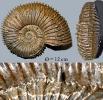 Kosmoceras spinosum