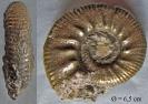 Poculisphinctes poculum