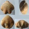 Brachiopode - Arceythyris dyptycha