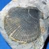 Muschel Chlamys textoria (Schloth.)