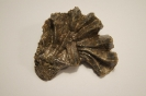Actinostreon marshi