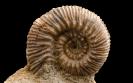 Ammonit Reineckia crassivenia
