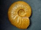 Graphoceras (Graphoceras) concavum (Sowerby 1815)