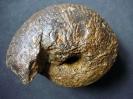 Bullatimorphites sp. (Buckman 1921)