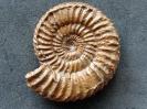 Caumontisphinctes sp. (Buckman 1920)