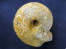 Macrocephalites macrocephalus (Schlotheim 1813)
