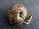 Sphaeroceras brongniarti (Sowerby 1818)