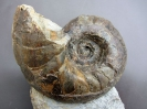 Digonioceras sp. (Hyatt 1894)