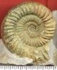 Orthosphinctes (Ardescia) proinconditus