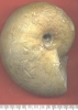 Physodoceras sp.
