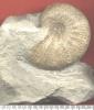 Taramelliceras kobiy wegelei