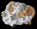 Ammonitenstufe aus Bischberg mit Lithacosphinctes und Taramelliceras