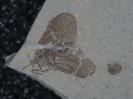 Pseudopolycentropus daohugouensis Zhang, 2005