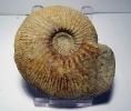 Ataxioceras (Ataxioceras) hypselocyclum