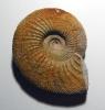 Ataxioceras (cf. Schneidia) sp.
