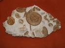 Stufe aus der Ammonitenseife