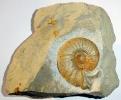 Ataxioceras effrenatum