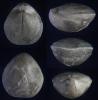 Brachiopode Zittelina gutta (QUENSTEDT 1858)