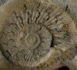 Ammonit mit schwarzer Lobenzeichnung