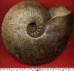 Cardioceras sp