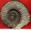Peltoceras (Peltoceras) sp.