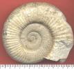Bartelliceras sp.