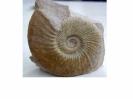 Ataxioceras (Schneidia) cf. elmii