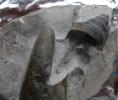 Anchura (Dicroloma) bicarinata (MUENSTER, 1844)