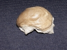 Unbestimmte Auster