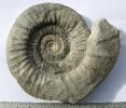 Orthosphinctes (Ardescia) desmoides