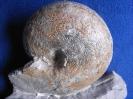 Physodoceras cf. circumspinosum