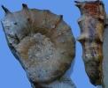 Paraspidoceras mamillanum (QUENSTEDT)