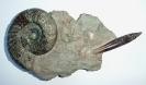 Ardescia sp. mit Hibolites hastatus