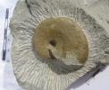 Taramelliceras subnereum