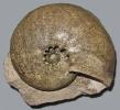 Physodoceras circumspinosum