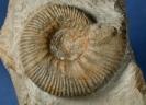 Kleine Pachypictonia