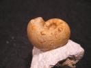 Aspidoceras binodum