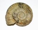 Ammonit unbekannt