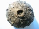 Hemicidaris hoffmanni (ROEMER 1836)