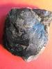Camptonectes auritus (v. Schlotheim)
